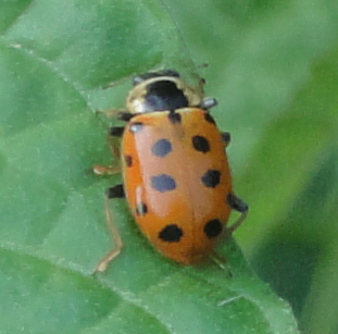 Thirteen-spot Ladybird, buburuză portocalie cu 13 puncte negre
