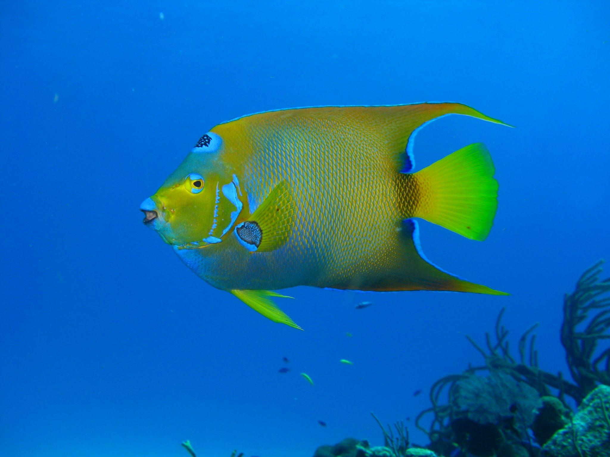 Queen Angelfish, Angelfish, Blue Angelfish, Golden Angelfish, Queen Angel, Yellow Angelfish
