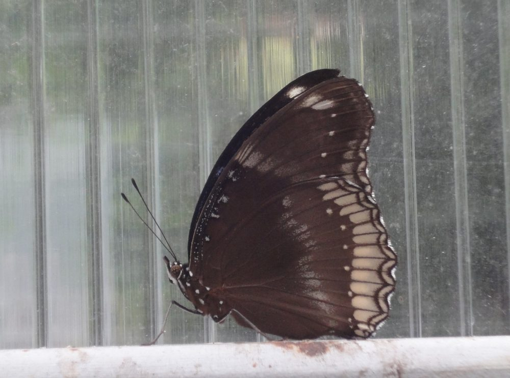 Great Eggfly, Common Eggfly, Blue Moon Butterfly