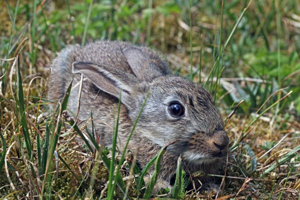 Oryctolagus cuniculus, European Rabbit, Common Rabbit