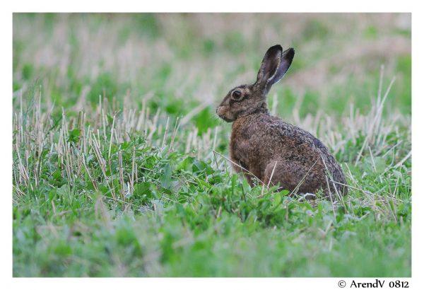 Lepus europaeus, European Hare, Brown Hare, European Brown Hare.