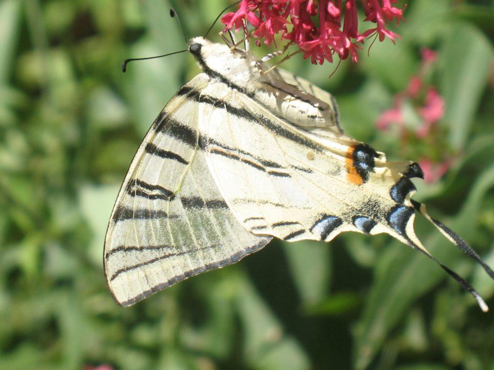 Fluturele Coada Rândunicii