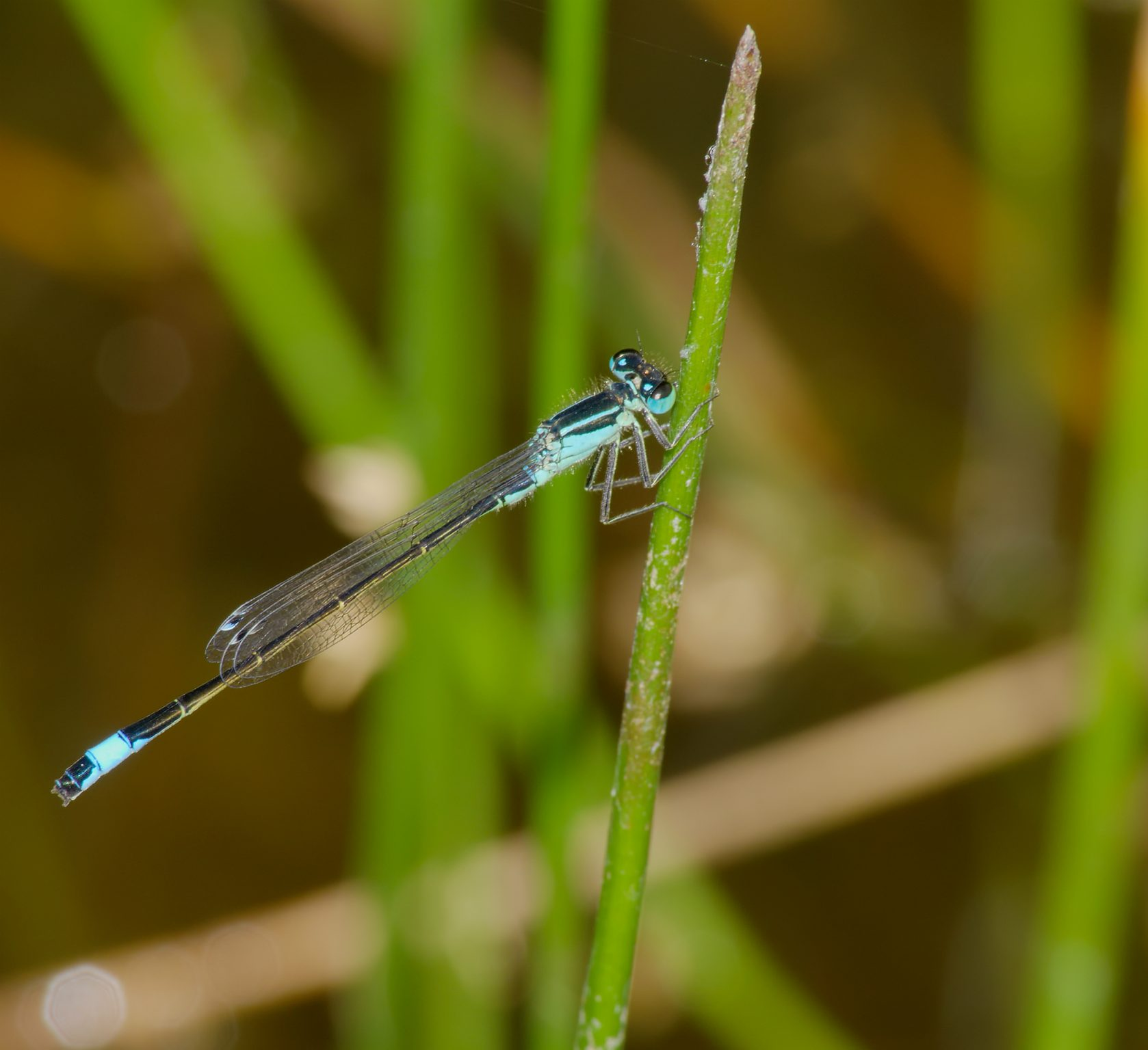 Blue-tailed Damselfly, Common Bluetail