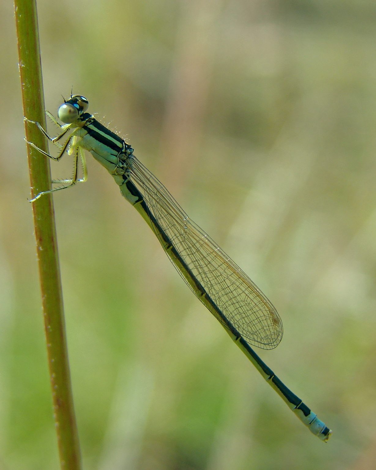 Scarce Blue-tailed Damselfly, Small Bluetail