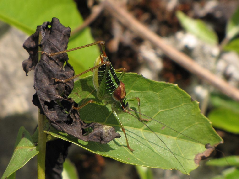 Showy Plump Bush-cricket