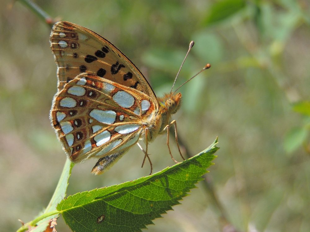 Queen of Spain Fritillary lateral