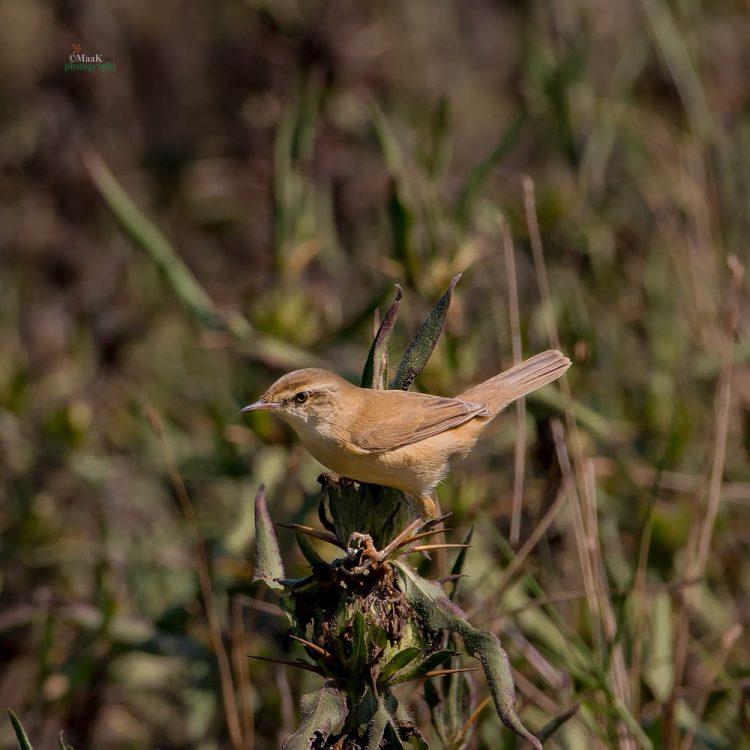 Acrocephalus agricola, Paddyfield Warbler