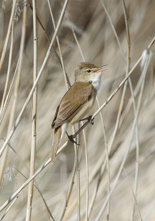 Acrocephalus scirpaceus, Common Reed-warbler