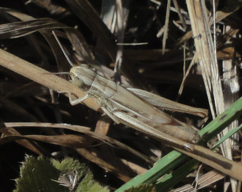 Common Straw Grasshopper