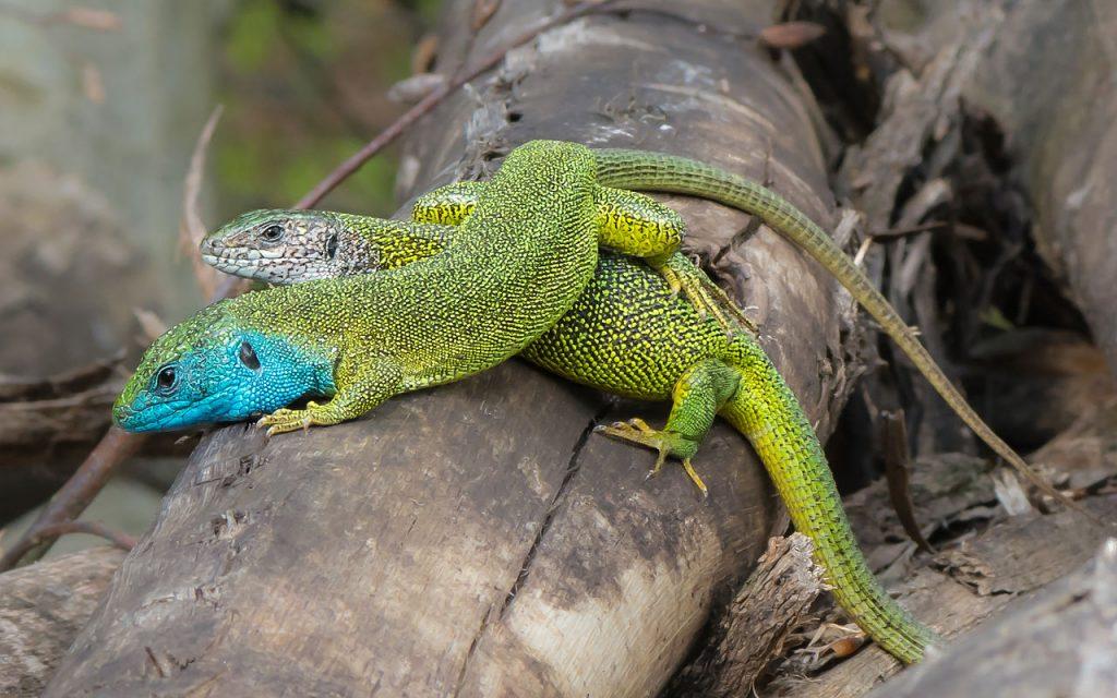 Lacerta viridis cuplu