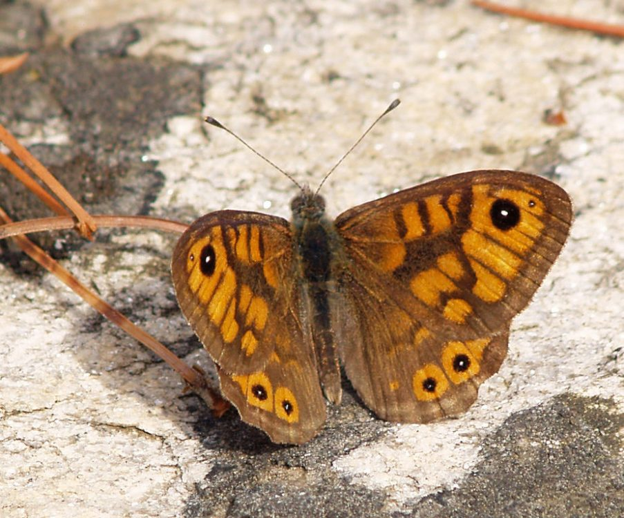 Wall Brown mascul