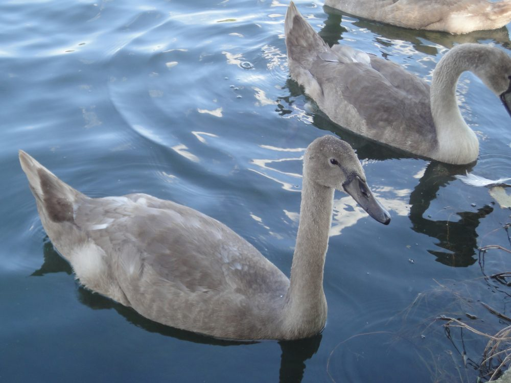 Cygnus olor, Mute Swan