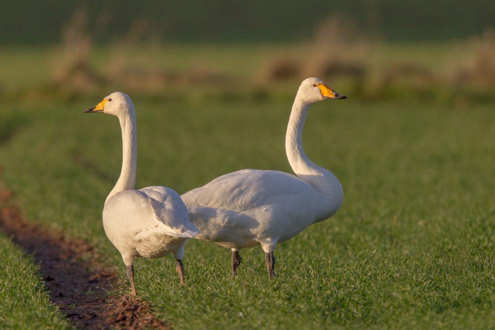 Lebăda cântătoare, Cygnus cygnus, Whooper Swan cuplu