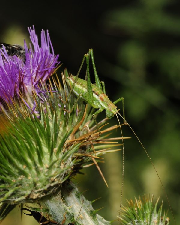 Striped Bush-cricket