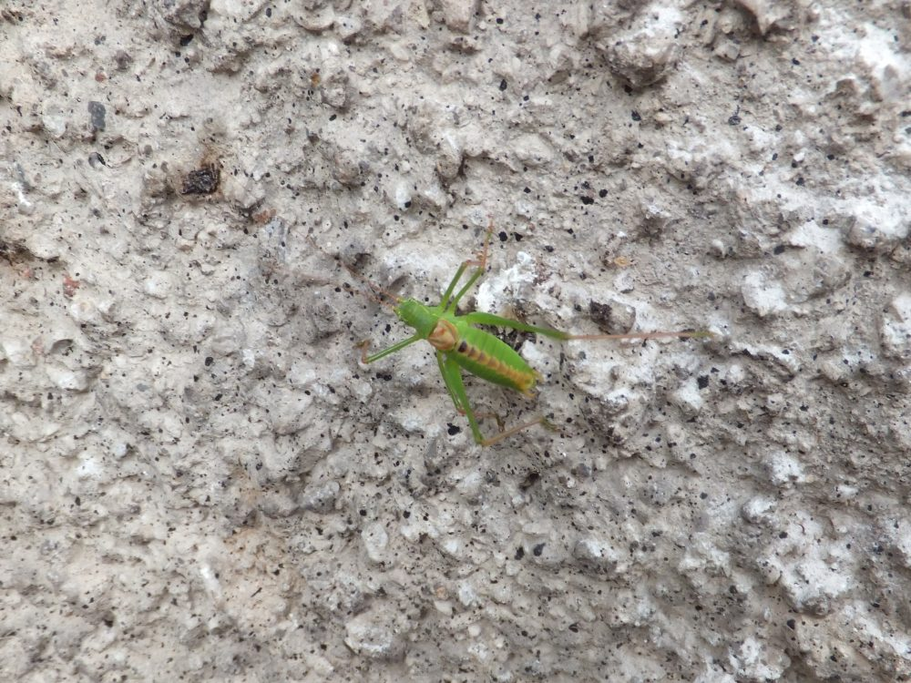 Long-tailed Speckled Bush-cricket