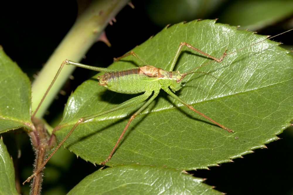 Common Speckled Bush-cricket