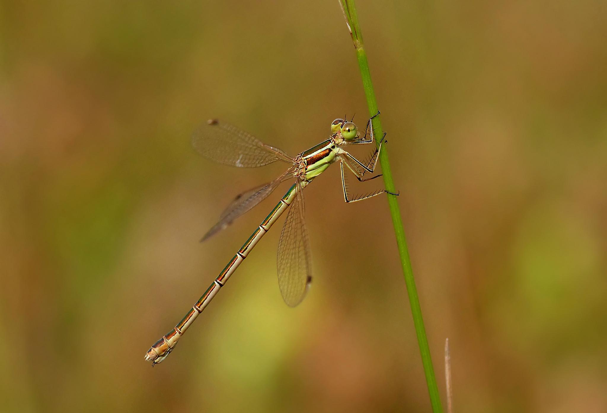 Southern Emerald Damselfly femelă