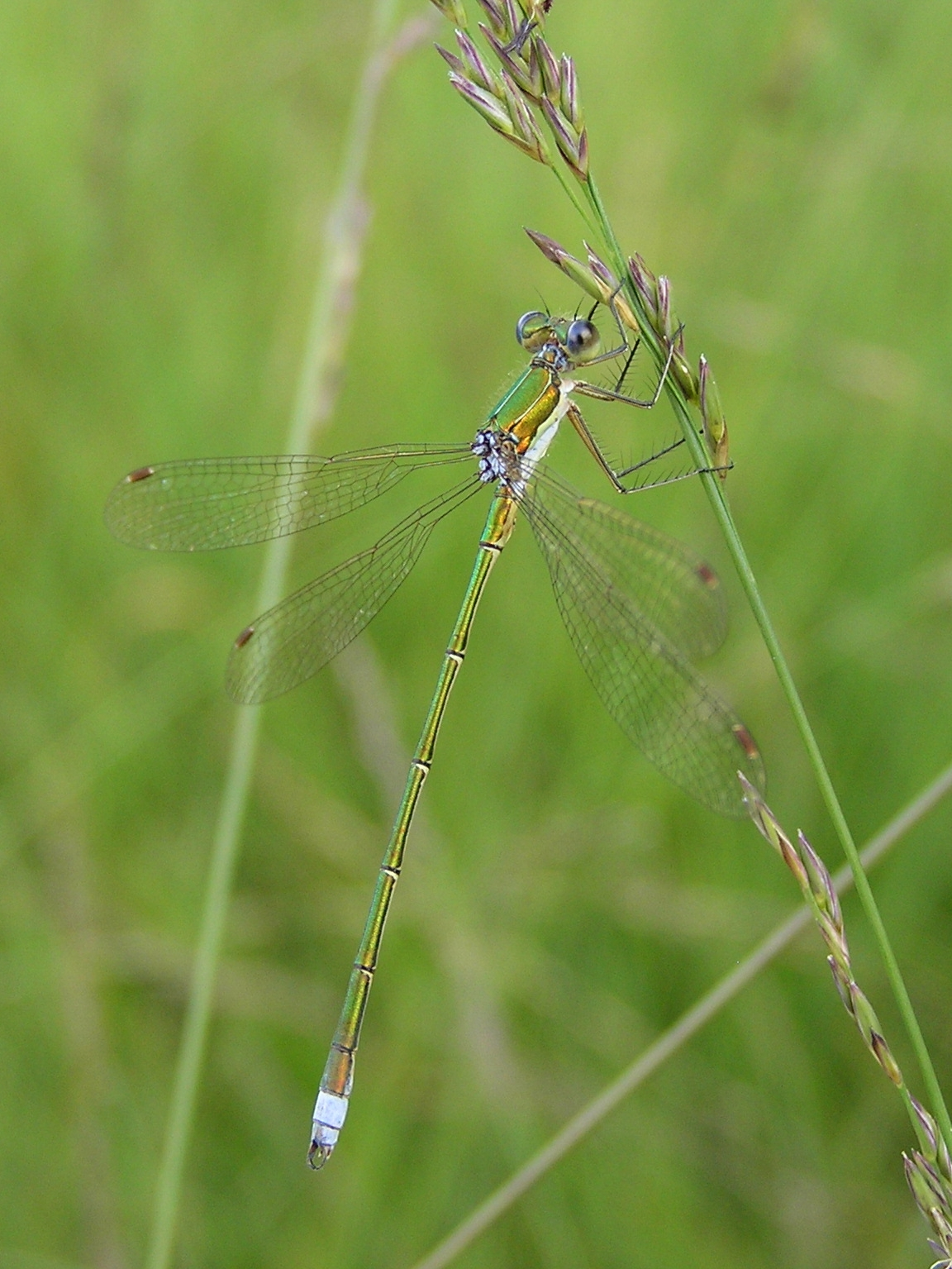 Small Emerald Spreadwing, Small Spreadwing