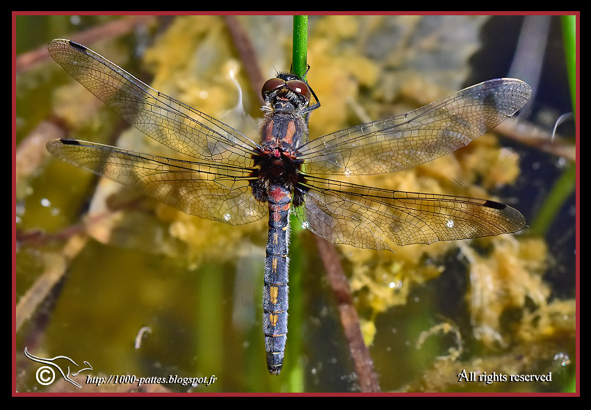 White-faced Darter, Small Whiteface