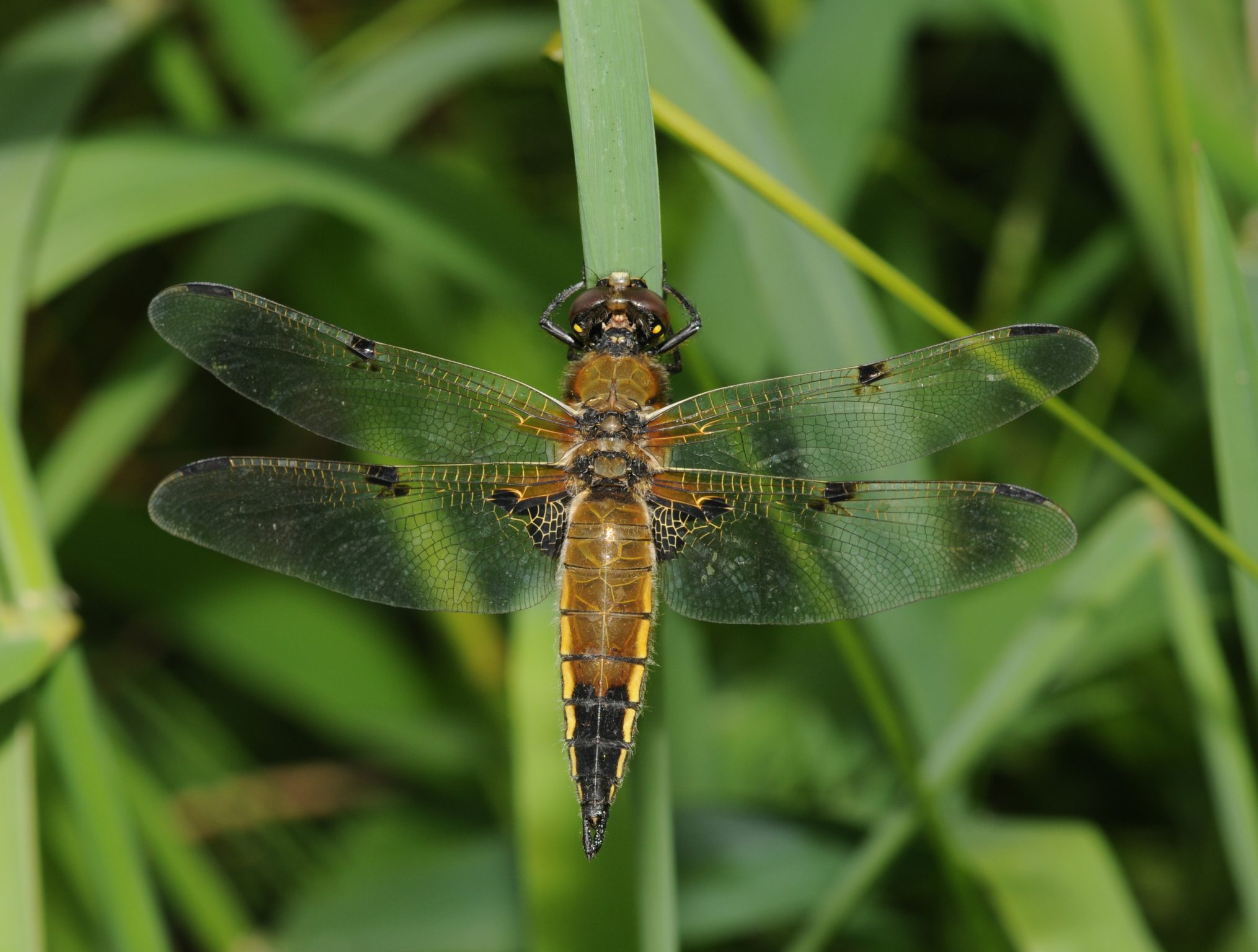 Four-spotted Chaser, Four-spotted Skimmer femelă