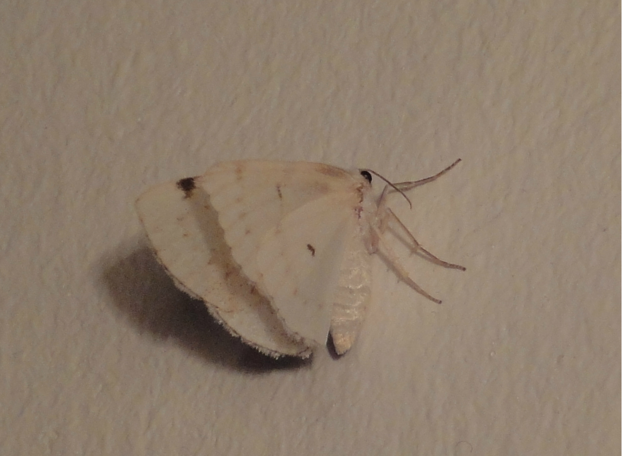 White-pinion Spotted