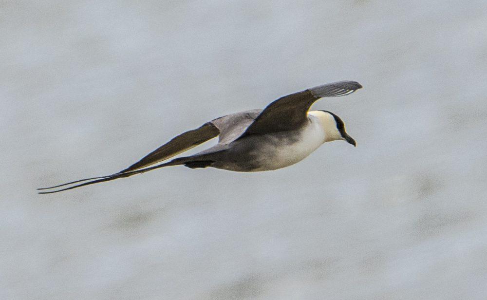 Stercorarius longicaudus, Long-tailed Jaeger