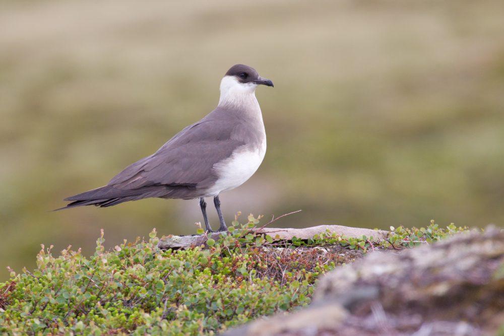 Stercorarius parasiticus, Arctic Jaeger