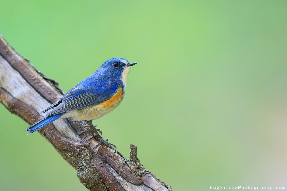 Tarsiger cyanurus, Orange-flanked Bush-robin