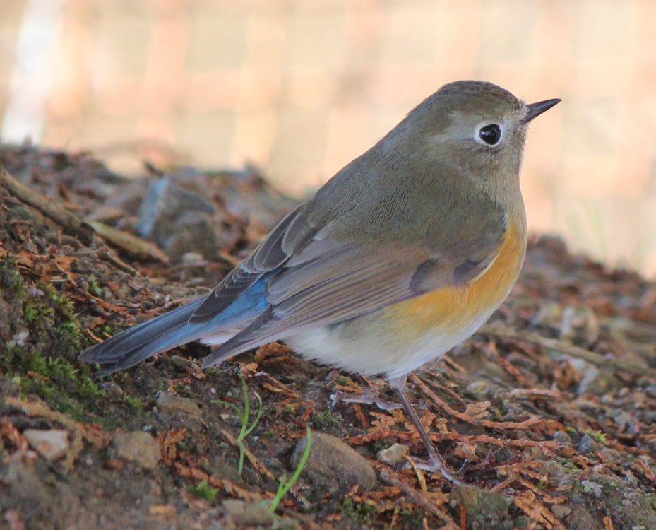 Tarsiger cyanurus, Orange-flanked Bush-robin femelă