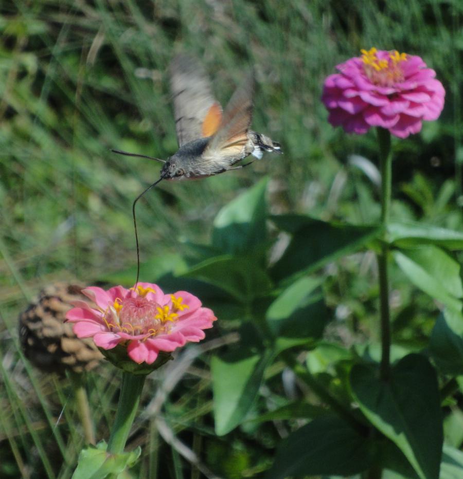 Hummingbird Hawk-moth, Molia Colibri