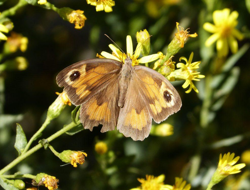 Meadow Brown, Fluture maro de pajişte femelă