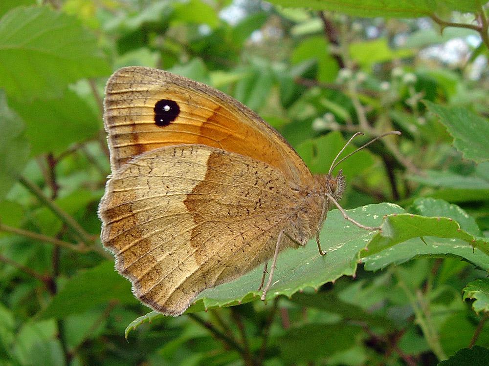Meadow Brown, Fluture maro de pajişte, femelă lateral