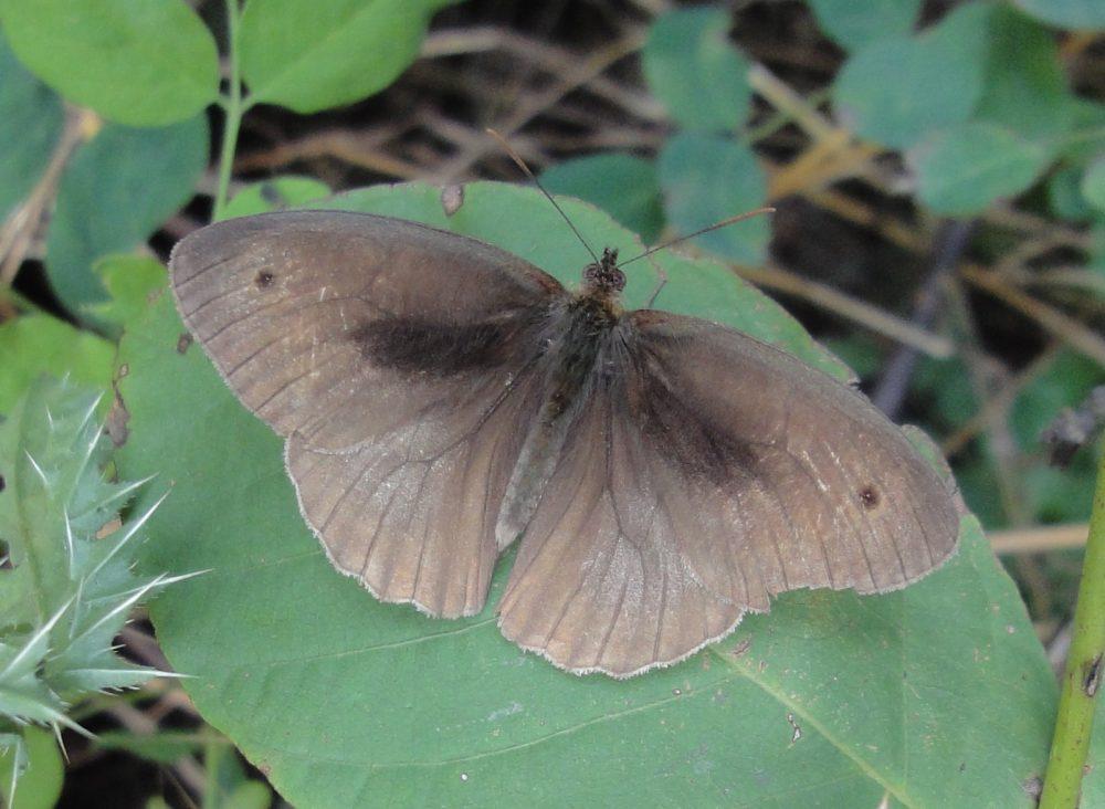 Meadow Brown, Fluture maro de pajişte mascul