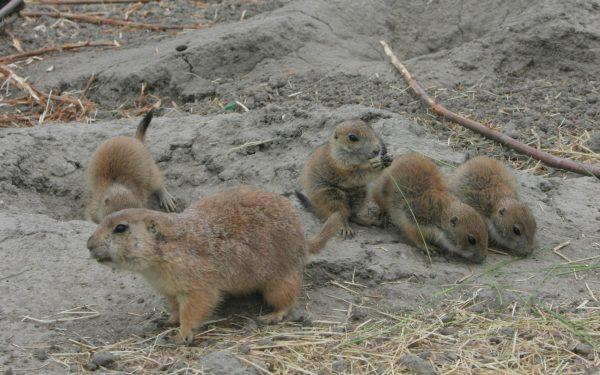 Alpine Marmot familie