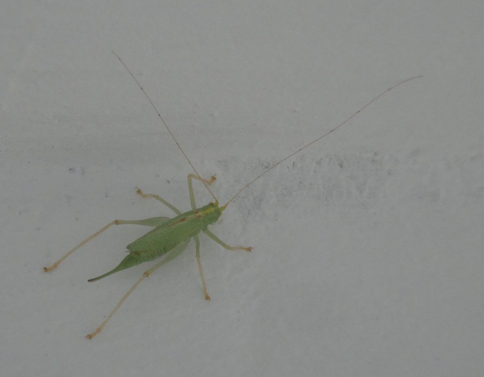 Oak Bush-cricket femelă