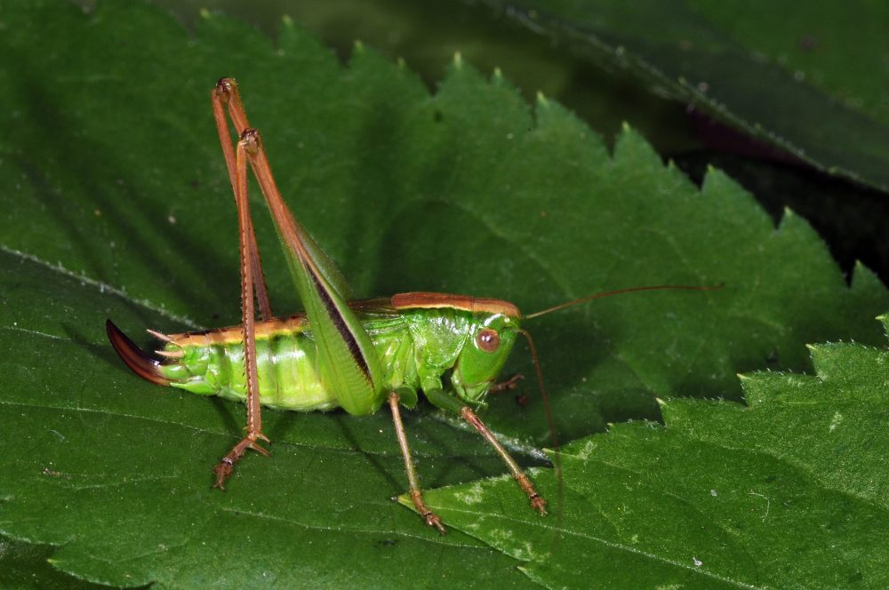 Two-coloured Bush-cricket