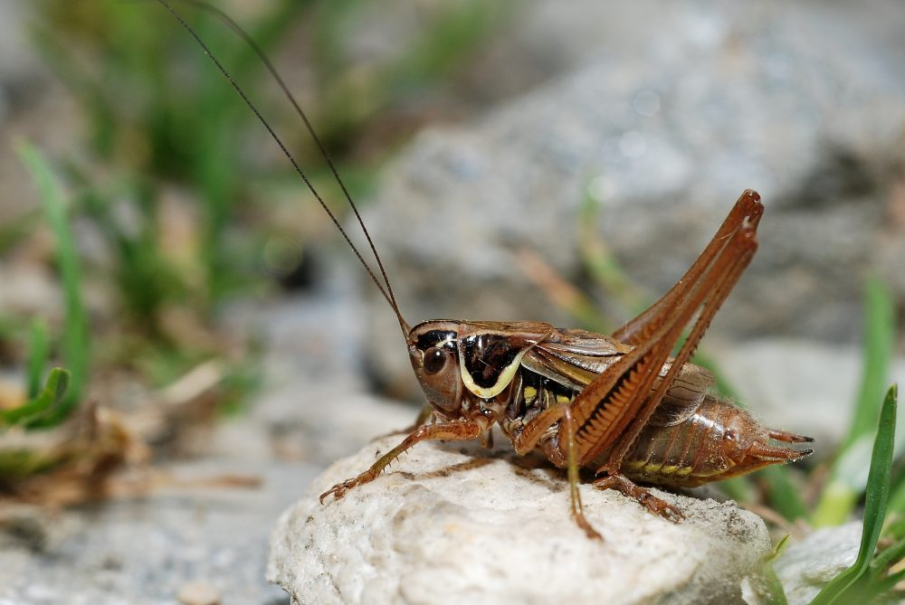 Roesel's Bush-cricket mascul