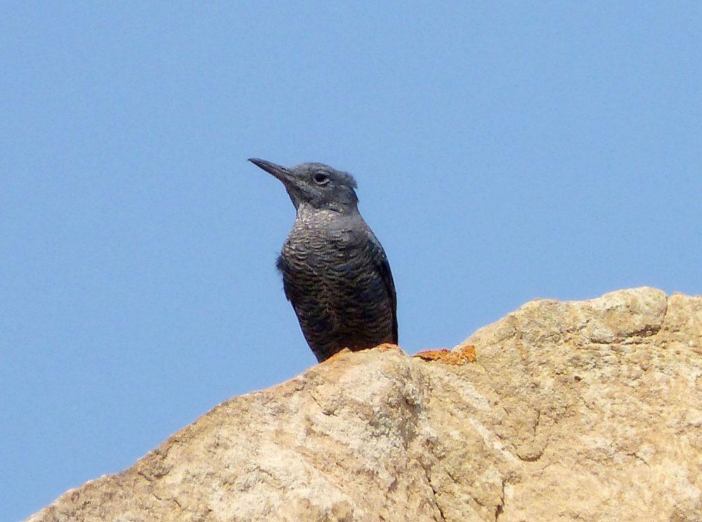 Monticola solitarius, Blue Rock-thrush femelă