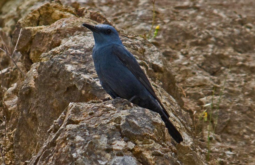 Monticola solitarius, Blue Rock-thrush mascul