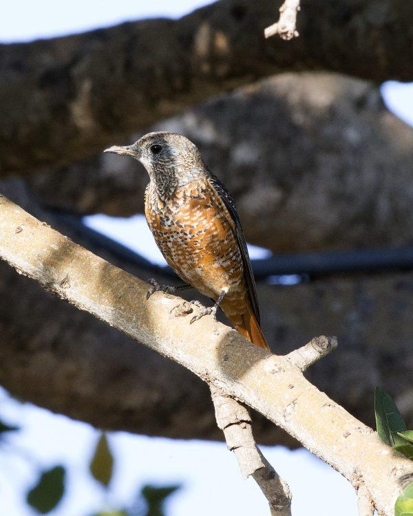 Monticola saxatilis, Rufous-tailed Rock-thrush femelă