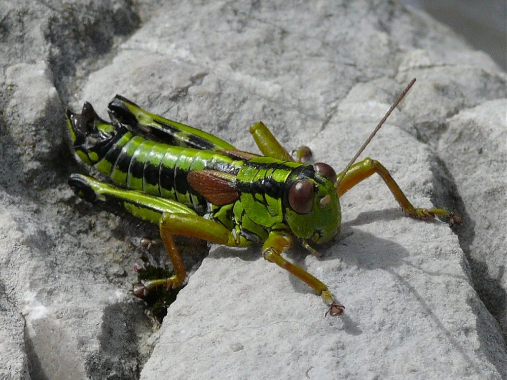 Green Mountain Grasshopper mascul