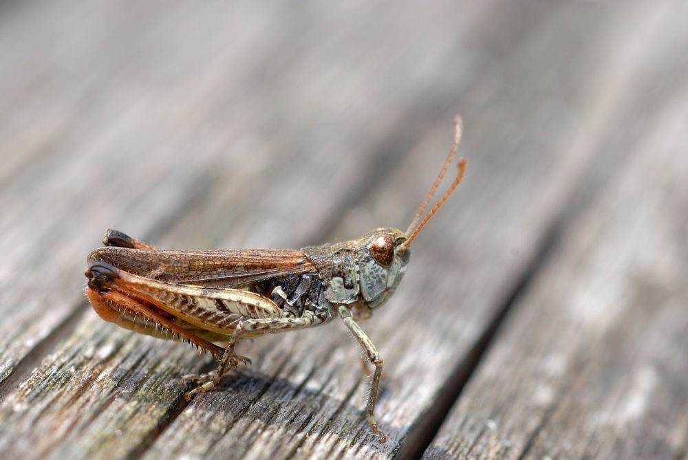 Common Club Grasshopper