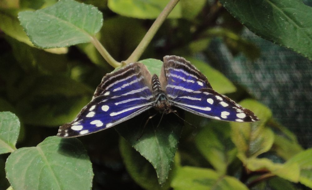 Blue wave, Blue-banded Purplewing, Tropical Blue Wave, Whitened Bluewing, Royal Blue