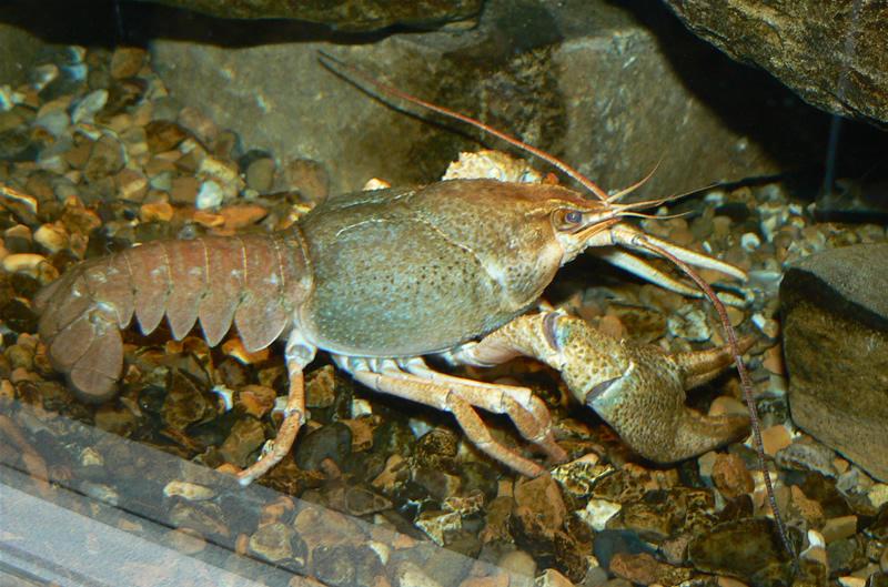 Racul de lac (Astacus leptodactylus)