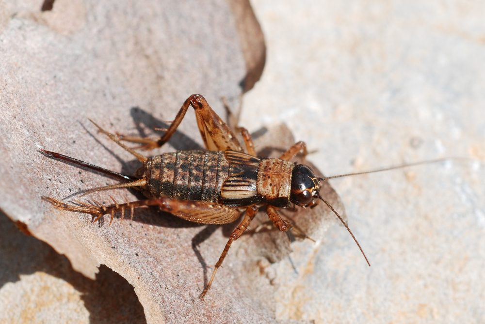 Wood-cricket