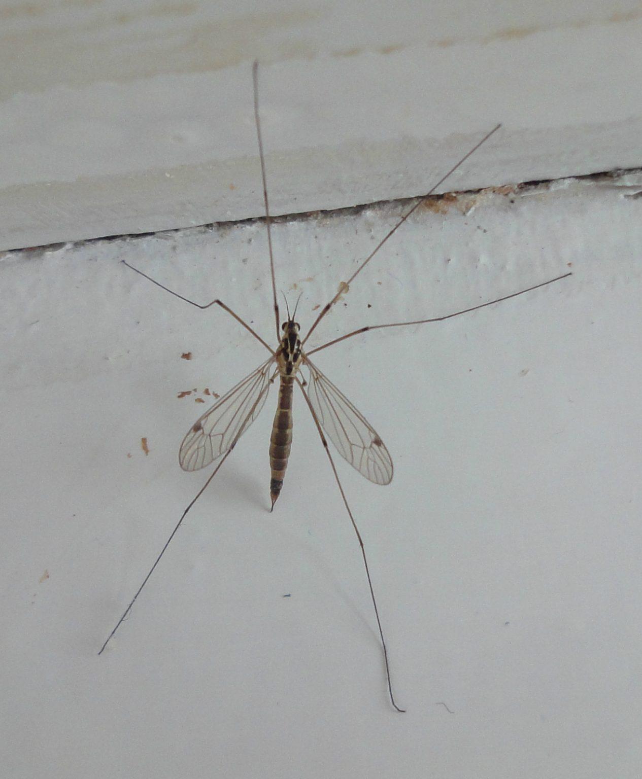 crane fly femelă