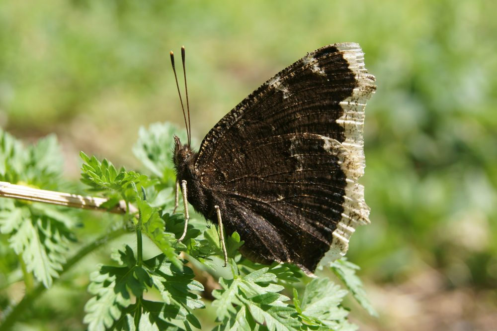 Mourning Cloak lateral