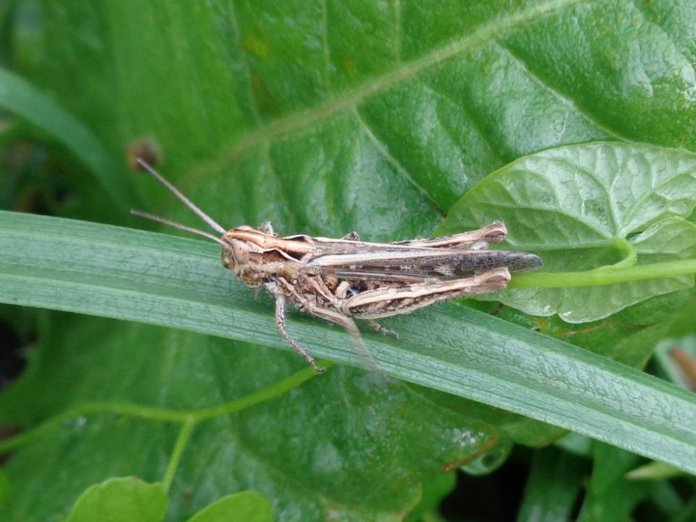 Rock-dwelling Grasshopper
