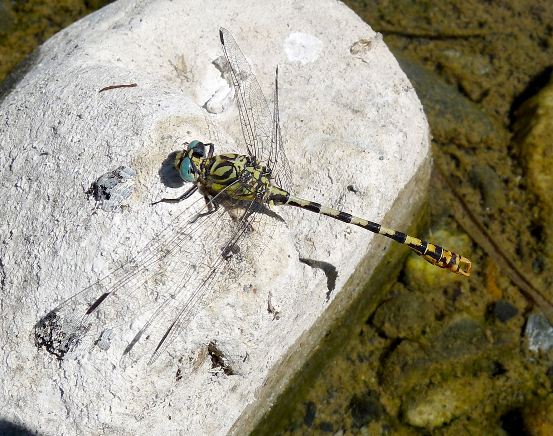 Small Pincertail, Green-eyed Hooktail mascul