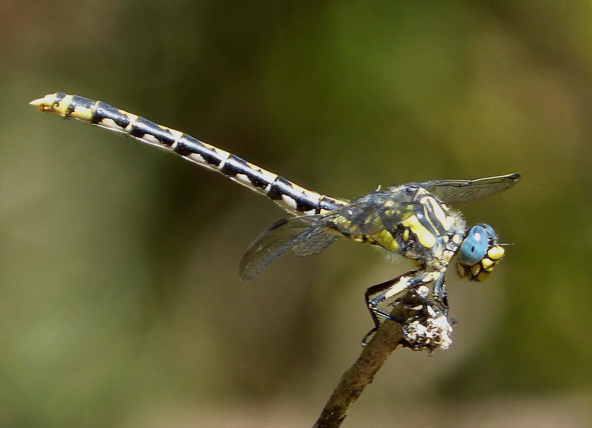 Large Pincertail femelă